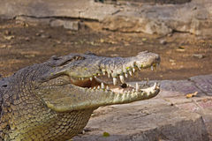 Крокодил стоковая фотография