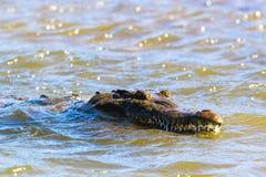 Крокодил Стоковая Фотография RF