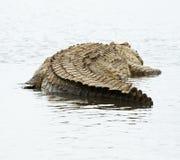 Крокодил стоковое изображение