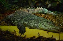 Крокодил Стоковое Изображение RF