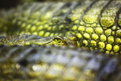 Крокодил Gavial Стоковая Фотография RF