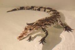 Крокодил Morelet стоковое изображение