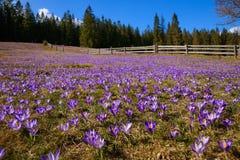 Крокусы весной на луге горы Стоковые Фотографии RF
