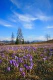 Крокусы весной на луге горы Стоковая Фотография RF