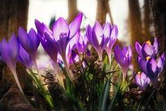 Крокусы весной Стоковое Изображение