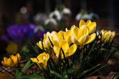 Крокусы весной Стоковая Фотография RF