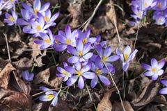 Крокусы весной Стоковое Изображение RF
