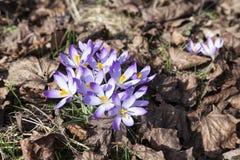 Крокусы весной Стоковые Изображения