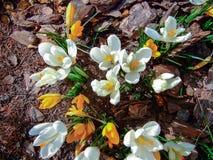 Крокусы весны в coniferous саде, естественной сцене Стоковая Фотография