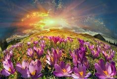 Крокусы в горах Стоковое Изображение