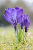 Крокусы в траве Стоковое Изображение