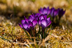 Крокусы в цветении Стоковые Фотографии RF