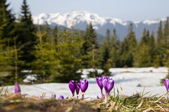 Крокусы горы Стоковое фото RF