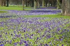 Крокусы зацветая в парке стоковые фото