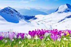 Крокусы и горы Стоковые Фотографии RF