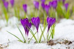 крокусы лиловые Стоковое фото RF