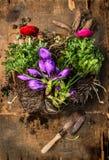 Крокусы и лютики садовничая с ветроуловителем, почвой и корнями на деревенской деревянной предпосылке стоковое фото rf