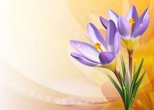 крокусы карточки цветастые Стоковая Фотография