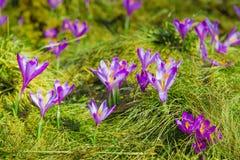 Крокусы на зеленой траве приходя изолированная белизна студии весны съемки Стоковое Изображение RF
