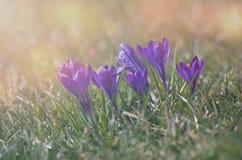 Крокусы на траве в свете восходящего солнца стоковое фото rf