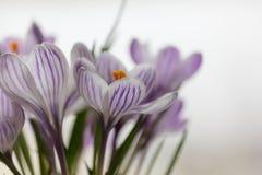 крокусы предпосылки цветут изолированный желтый цвет тканья весны бака белый Стоковые Изображения