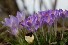 крокусы предпосылки цветут изолированный желтый цвет тканья весны бака белый Стоковое Фото