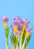 крокусы пурпуровые Стоковое фото RF
