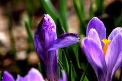 крокус белизна весны пущи цветка Стоковое Фото