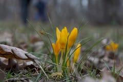 Крокус весны желтый Желтый цветок весны в передних частях Стоковые Изображения RF