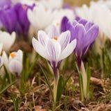 Крокус весны стоковая фотография