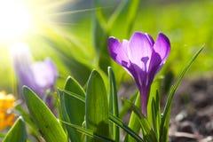 Крокус весны стоковое изображение