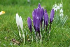Крокус весны Стоковое фото RF