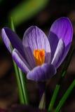 Крокус весны Стоковое Изображение RF