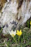 Крокус весны Стоковое Фото