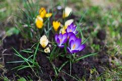 Крокус в саде на день солнечного света Цветене шафрана желтый цвет весны лужка одуванчиков предпосылки полный Стоковые Фотографии RF