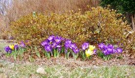 Крокус в саде Стоковое Изображение