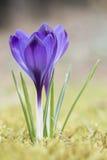 Крокус в траве Стоковое Изображение RF