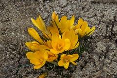 Крокус желтого цвета весны искусства красивый цветет в саде стоковое изображение rf