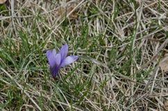 Крокус красивой весны фиолетовый цветет в glade, горе Plana стоковое фото rf