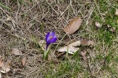 Крокус красивой весны фиолетовый цветет в glade, горе Plana стоковое изображение rf