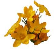 Крокус крокуса латинский, или шафран, желтый Стоковое Изображение RF