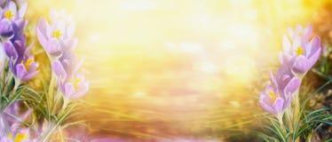 Крокус на солнечном backgrpond природы bokeh, знамени для вебсайта стоковая фотография