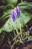 Крокус осени Стоковые Фотографии RF