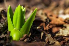 Крокус растет вверх стоковая фотография rf