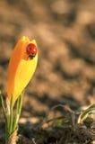 Крокус с Ladybug стоковые фото