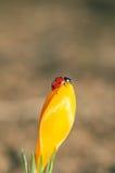 Крокус с Ladybug стоковые фотографии rf