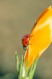 Крокус с Ladybug стоковые изображения