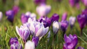 крокус цветет весеннее время видеоматериал
