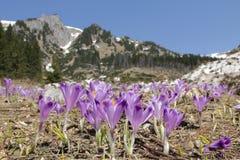крокус цветет весна горы лужка Стоковые Изображения RF
