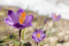 крокус цветет весна горы лужка Стоковая Фотография
